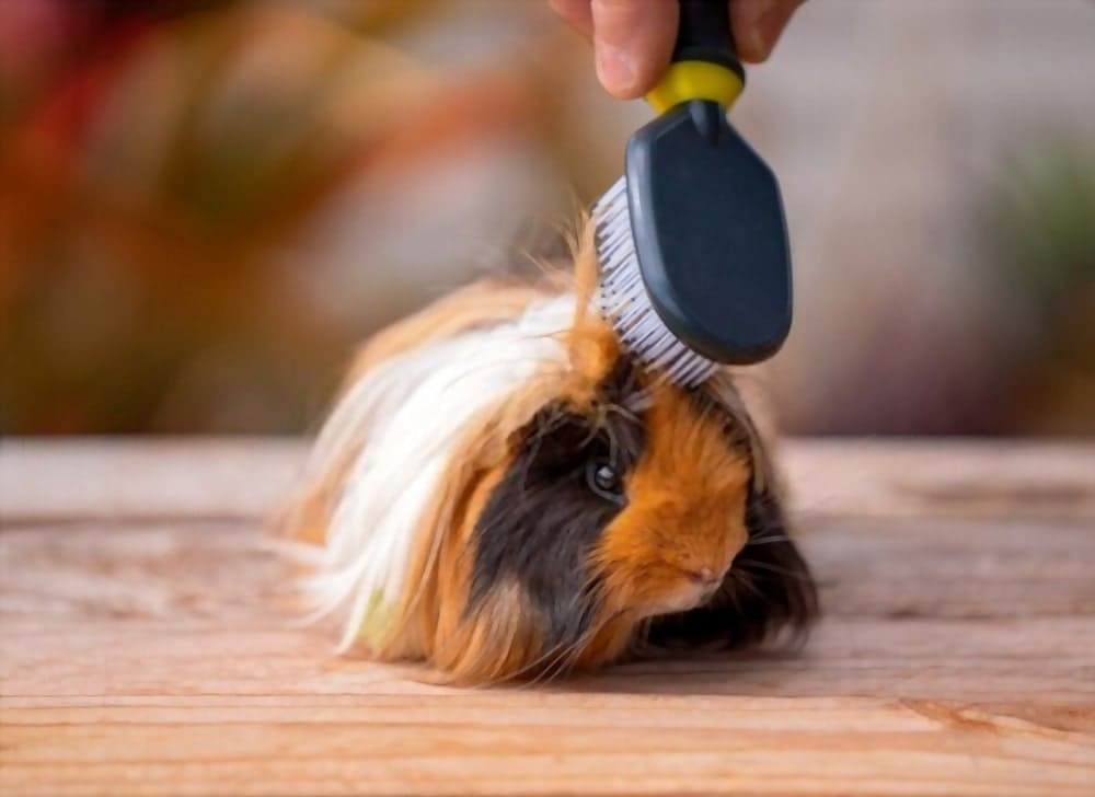 A cute guinea pig having his long hair groomed with a brush