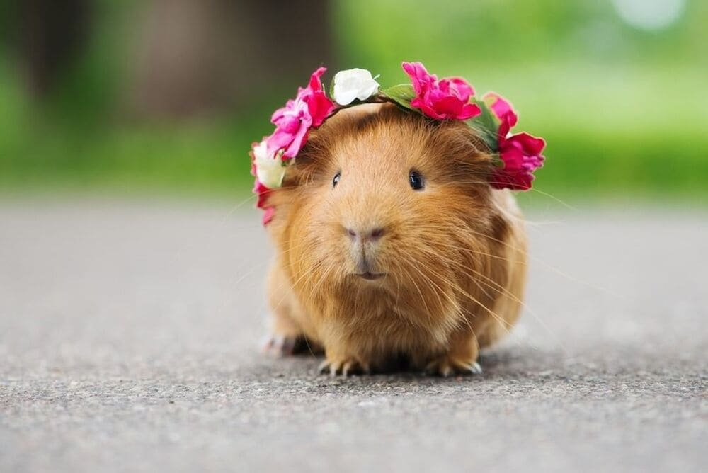 Guinea pig in a flower crown with harness
