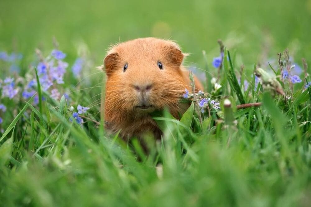 Guinea pig posing on grass