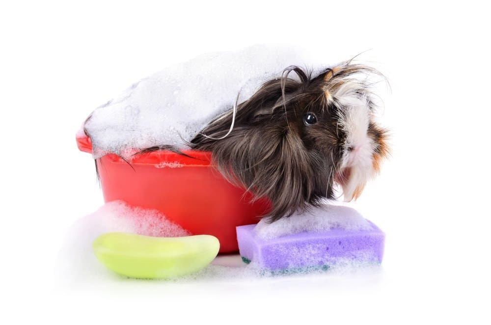 Cute guinea pig taking a bath in a soap foam