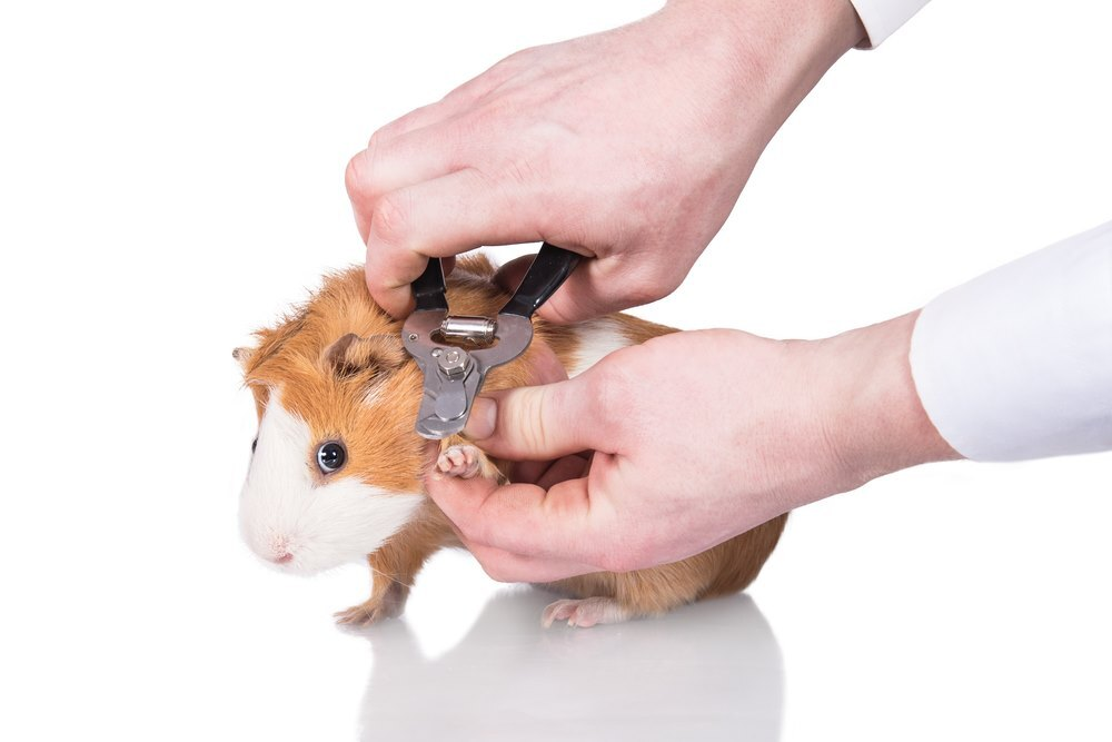 How to cut guinea pig nails