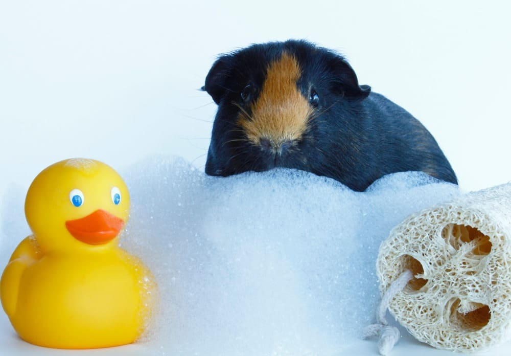 A cute guinea pig with a rubber ducky and a bath loofah and bubble bath