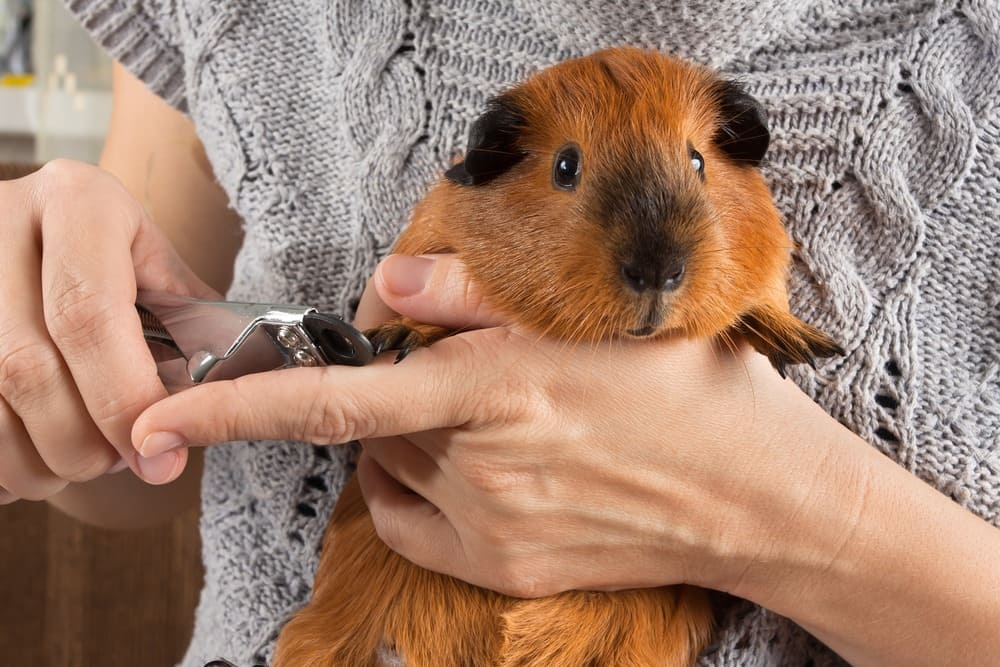 Hands trimming claws of guinea pig with pet clippers