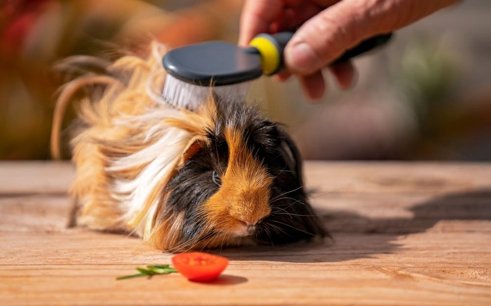 A cute guinea pig is having his long hair groomed with a brush