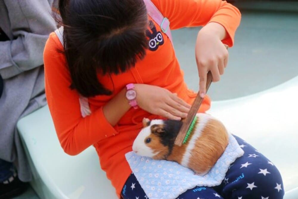 Young girl is grooming the Guinea Pig with a brush