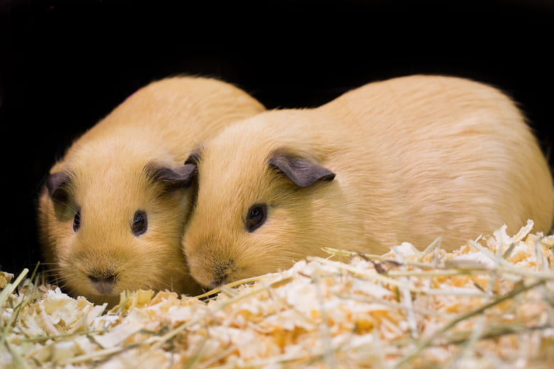What Bedding Does Your Guinea Pig Need