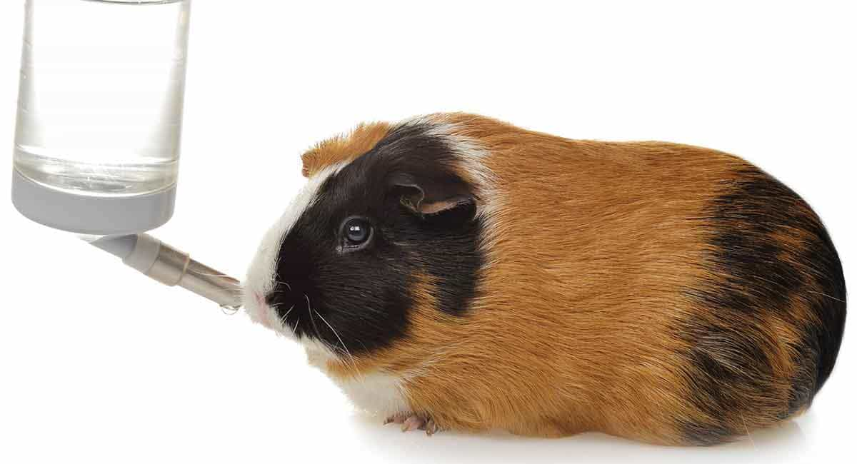Guinea Pig Water Bottle: The Best Product Review in 2021